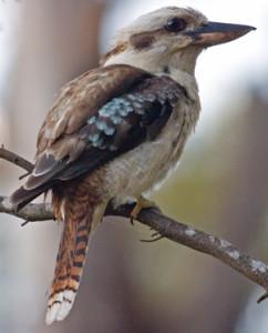 Kookaburra_portrait